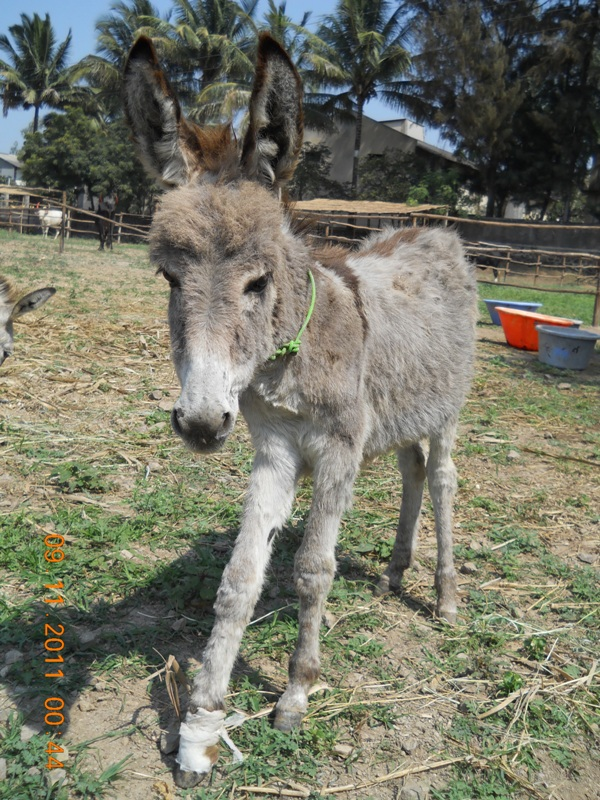 Rescued filly donkey at RBH