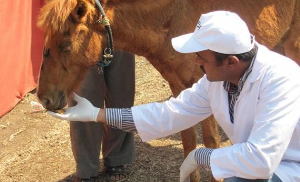 An Animal Rahat staffer feeds an exhausted pony in Chinchali.