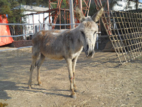 280-Raghu-rescued-donkey-at-RBH