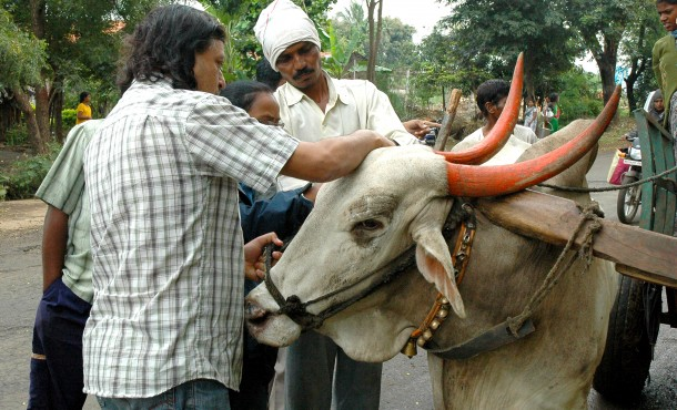 An Animal Rahat boardmember stops to check the condition of a working bullock and provides some much-needed attention.