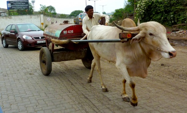 A weary bullock strains while pulling a heavy oil cart. Animal Rahat helps gentle animals like these who often suffer from dehydration, untreated sores, muscle strain and even beatings.