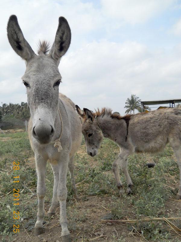 Bondy and Little Jock donkeys at RBH.