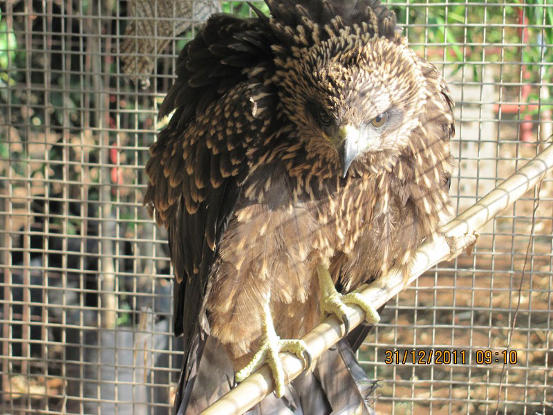 Pariah kite rescued.
