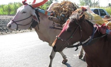 bullock hitched w pony