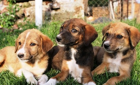 2015-04.puppies John, Suzy, and Ruzi at RBH