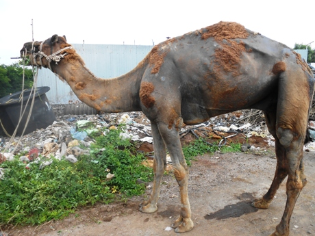 Image result for CAMEL SURGERY
