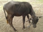 2015-07.buffalo calf pinned by halter - after