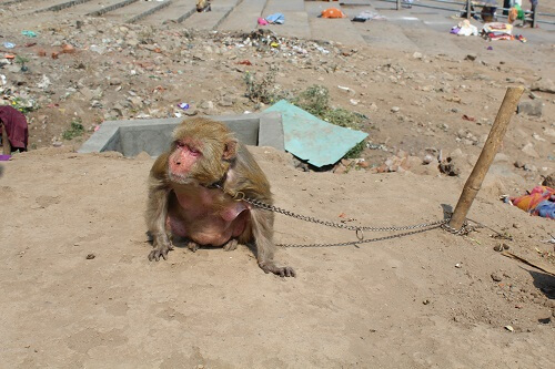 2016-02.rescued chained monkeys (4)