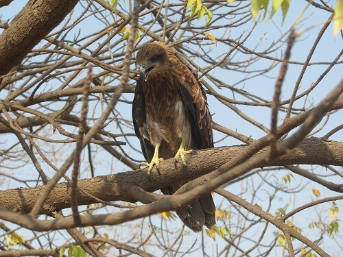 2016-04.rescued Indian kite after release