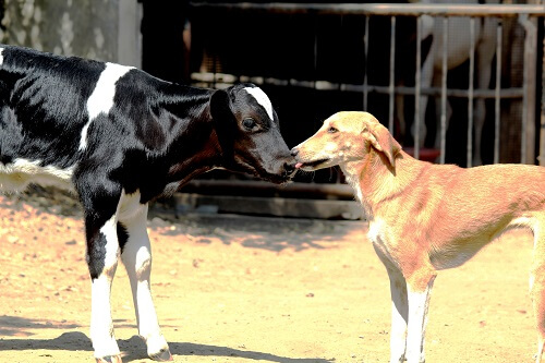 2016-05.rescued calf Lakhan licked by dog Rosy at RBH