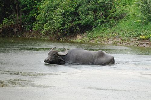 20160916-waterbuffalo-kalu