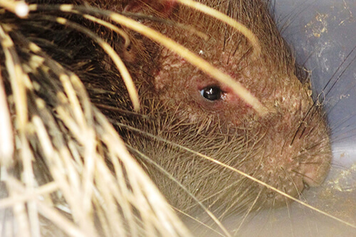 20161004-porcupine-rescued