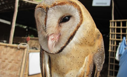 Owls in India: Threatened by Superstition and Fear