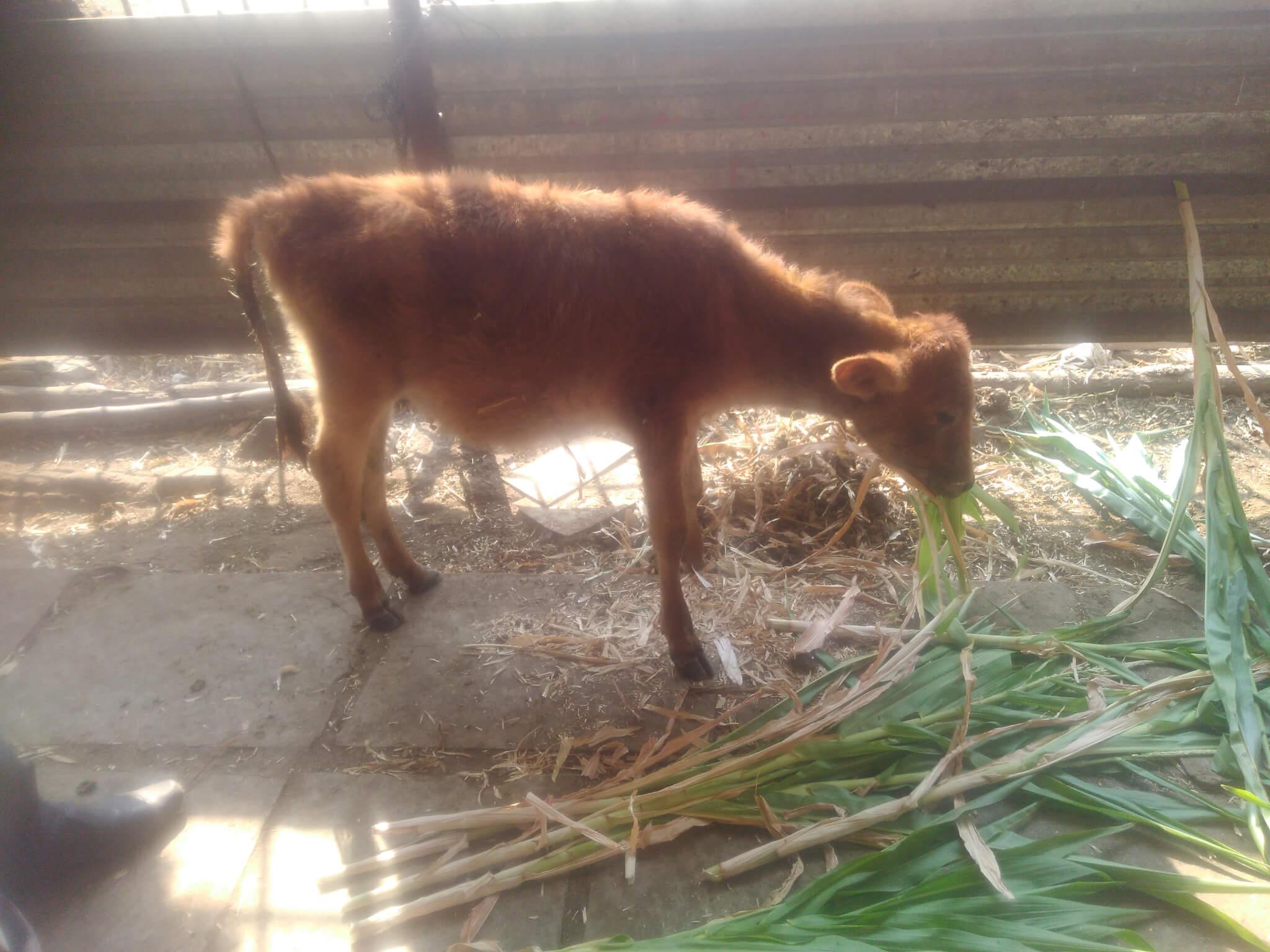 Shelia the calf at the sanctuary