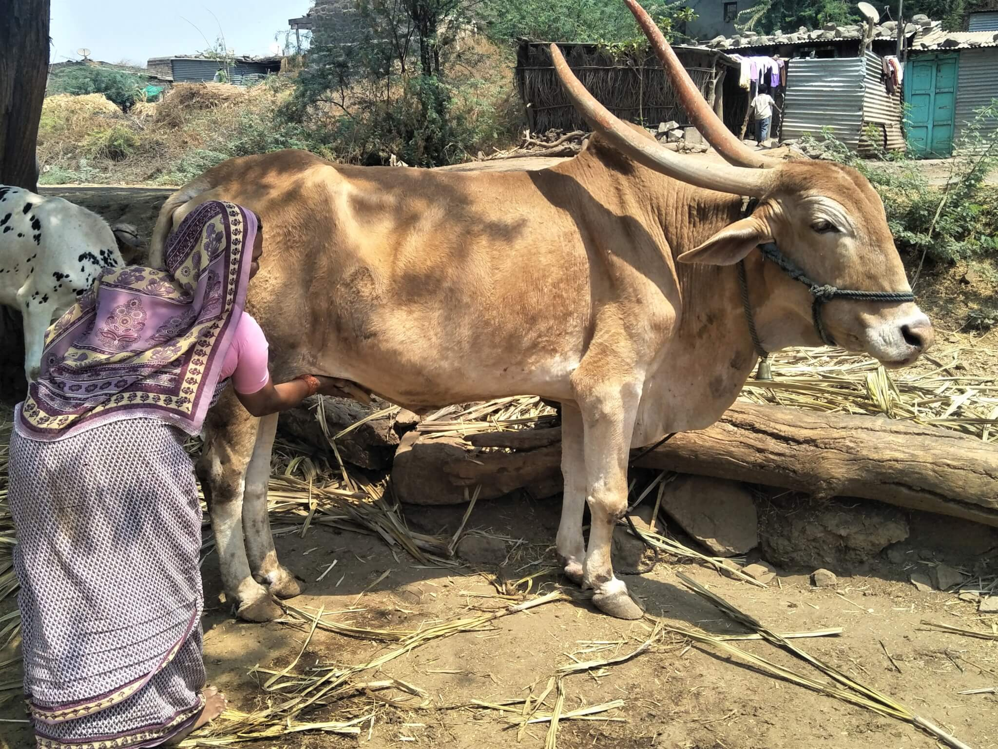 A woman practices grooming a brown bullock during a demonstration in her village.