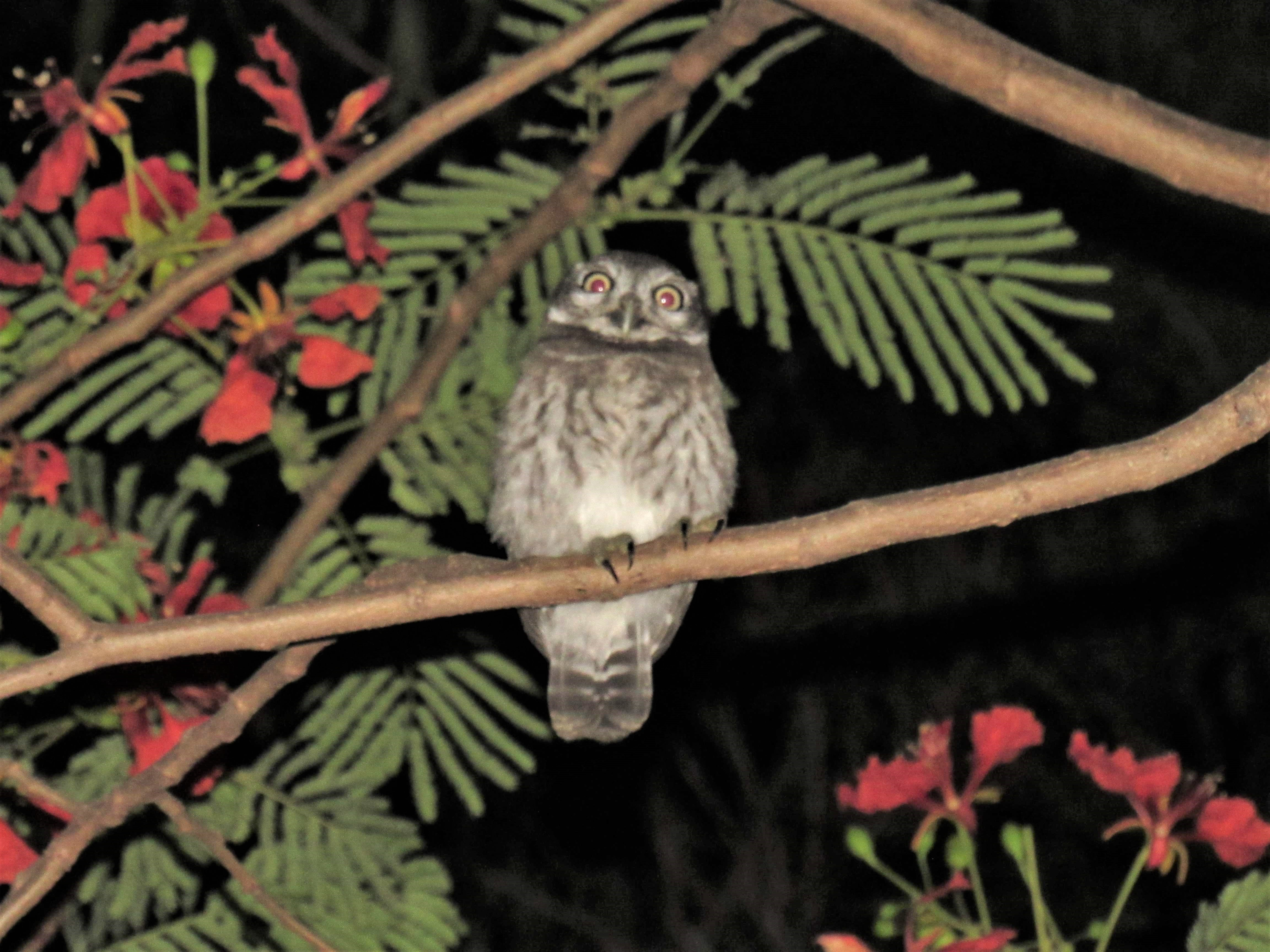 A baby owlet perches on a tree branch and looks at the camera.