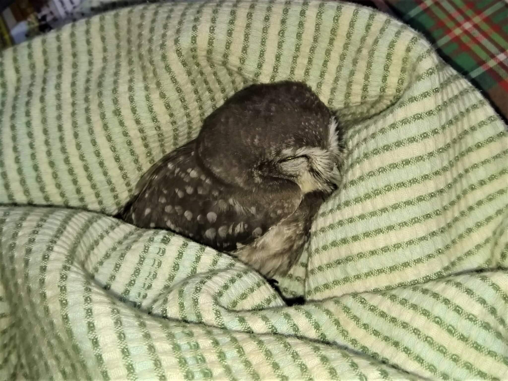 A spotted baby owlet sleeps snuggled into a striped blanket.