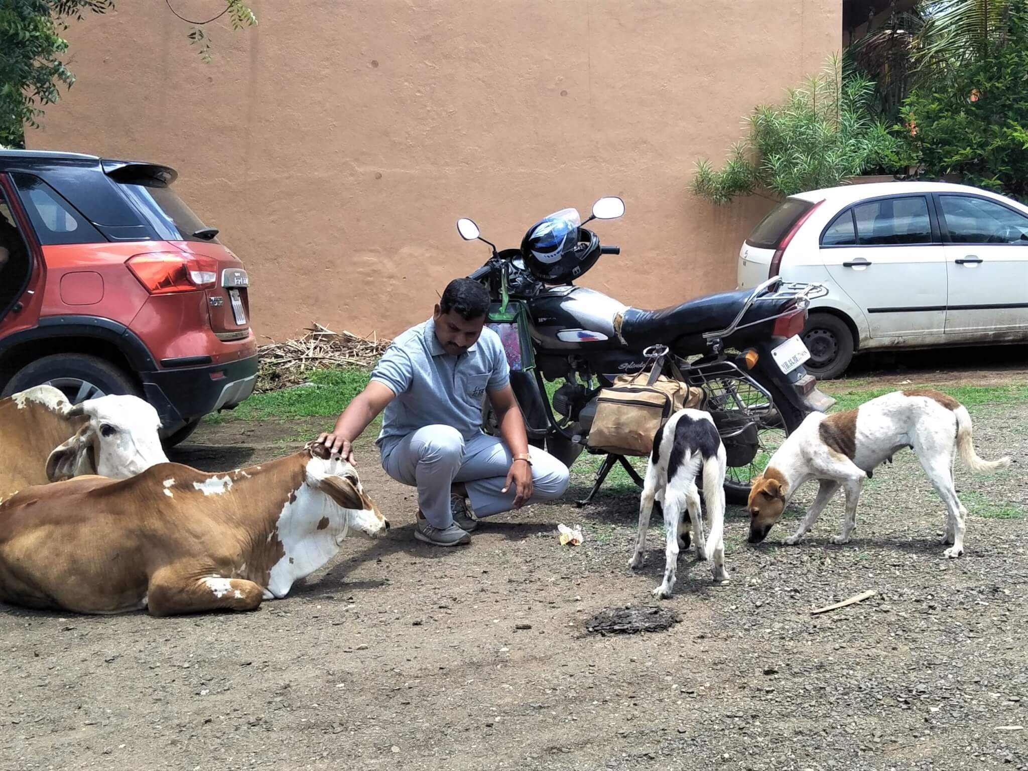 Animal Rahat scout Ajit Mote pets a cow while street dogs nearby enjoy the biscuits that he brought them.