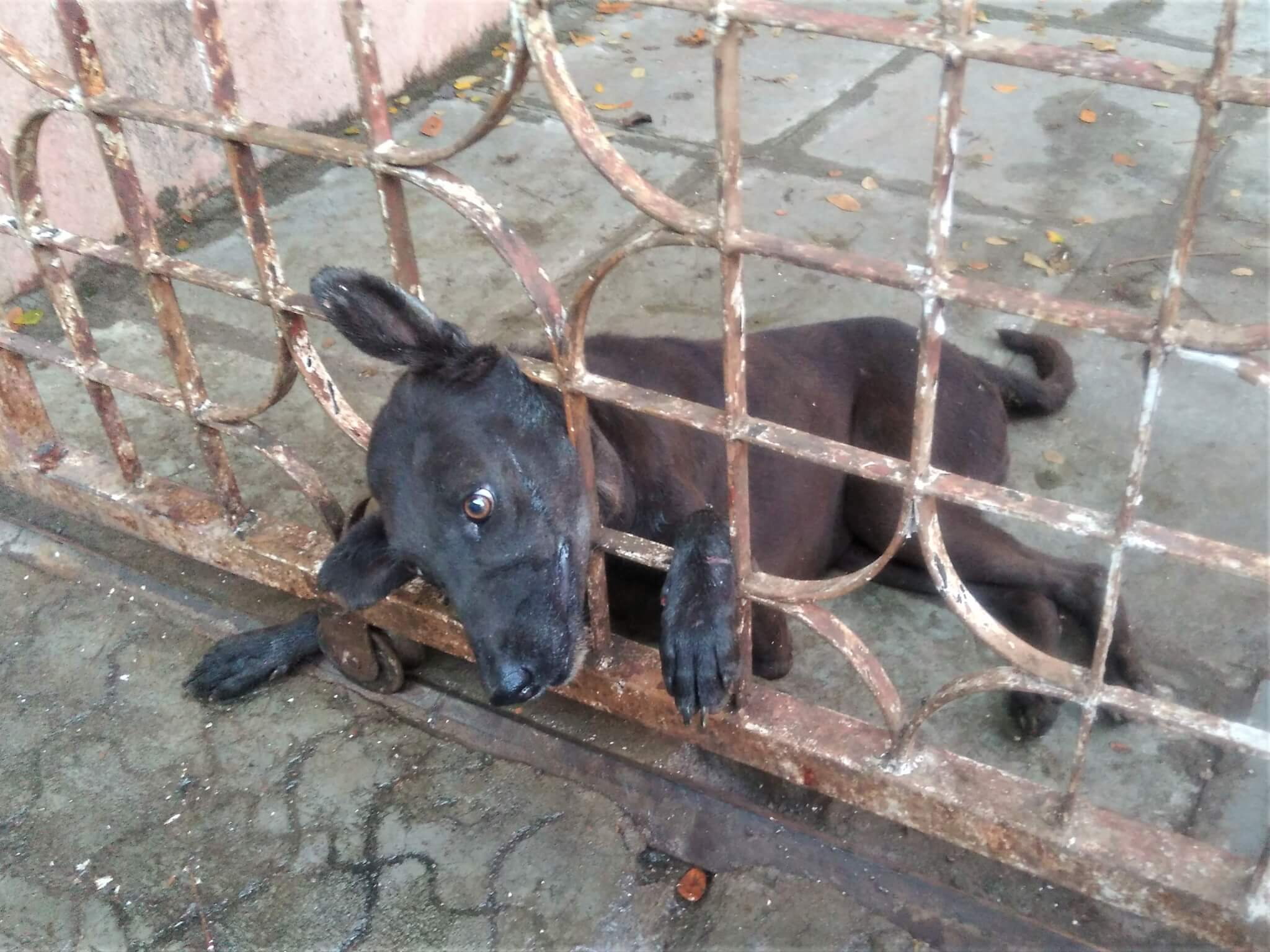 A dog lies on the ground with his head trapped between the bars of a gate.