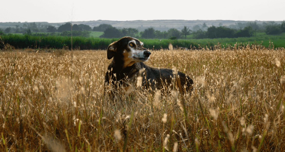 Guddi, a black-and-brown dog with white fur around her eyes and on her snout, stands in a field of tall grass.