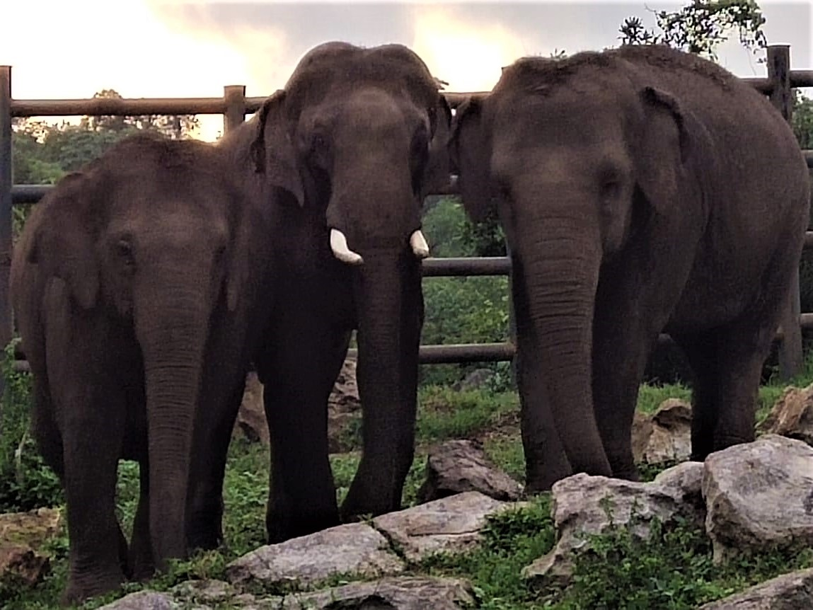 Rescued elephant Sunder stands between two of his friends at the Bannerghatta Biological Park.