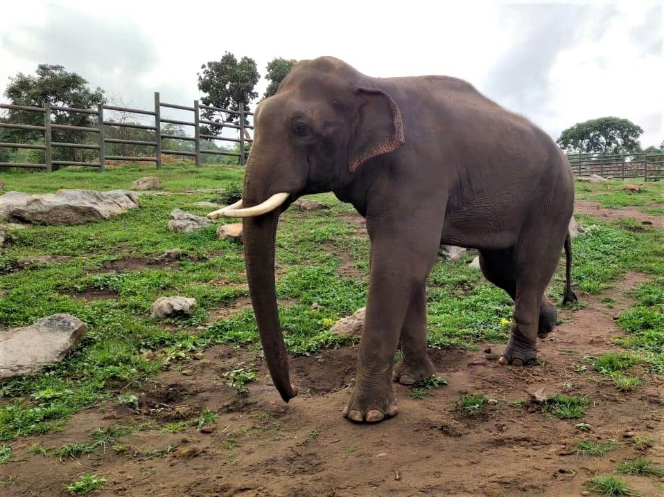 Rescued elephant Sunder strolls through a spacious elephant musth corral at the Bannerghatta Biological Park.