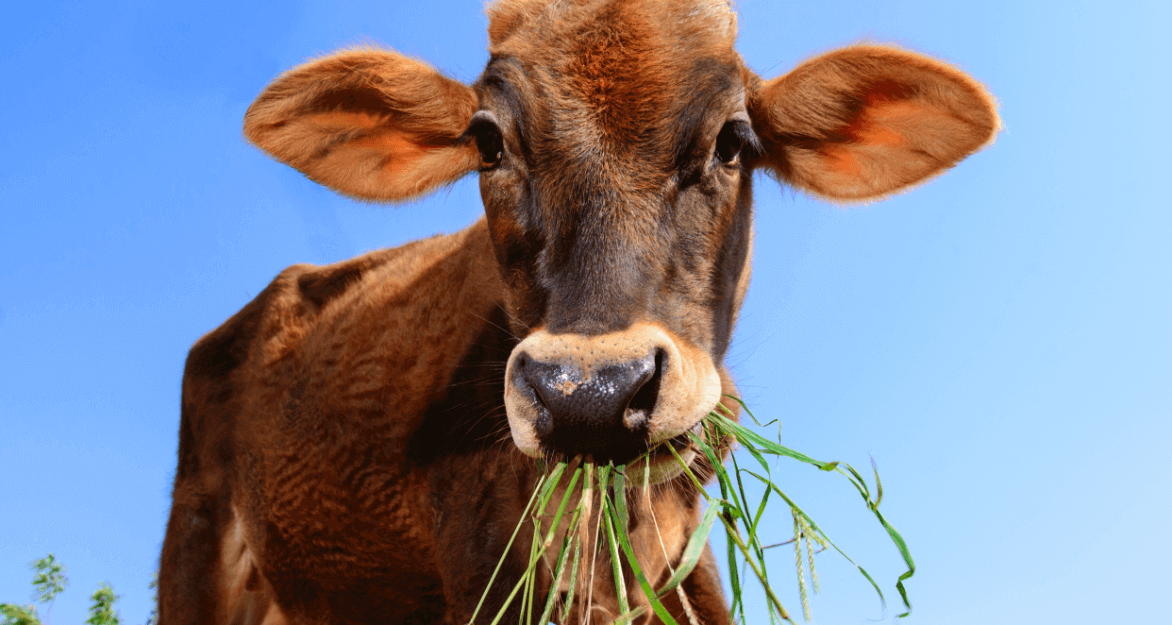 Calf Mahadev chews on some fresh green grass and looks into the camera.