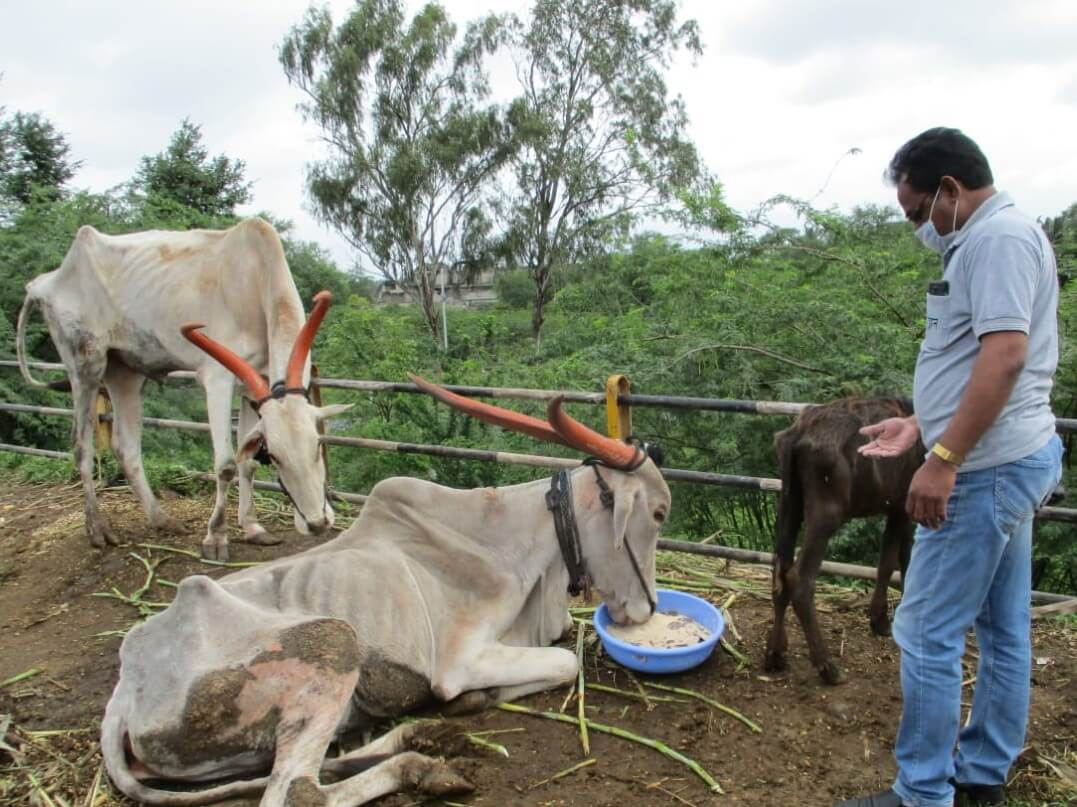 An Animal Rahat staff member watches over an extremely thin bullock as he eats a meal that the team provided. Another thin bullock stands behind them, waiting his turn to eat.