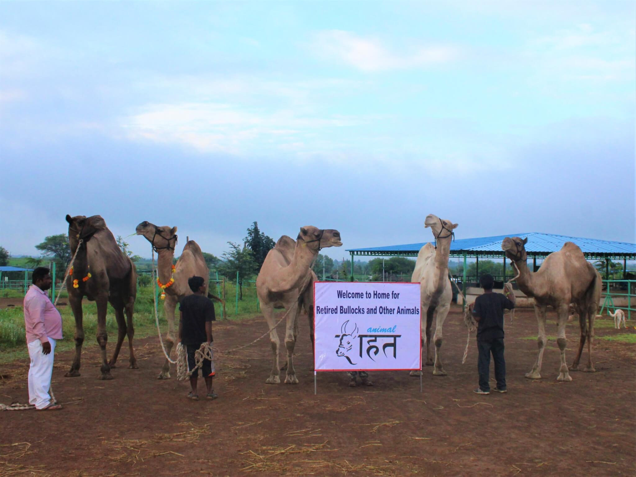 The rescued camels stand with their handlers beside a sign welcoming them to Animal Rahat's sanctuary.