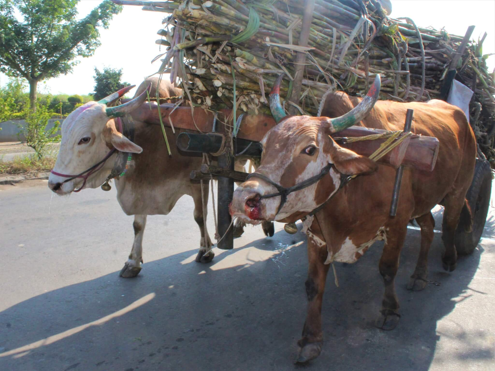 Bullocks Jay and Kishan strain under the weight of a cart piled high with sugarcane. Jay's facial expression is full of distress and blood drips from his nose.