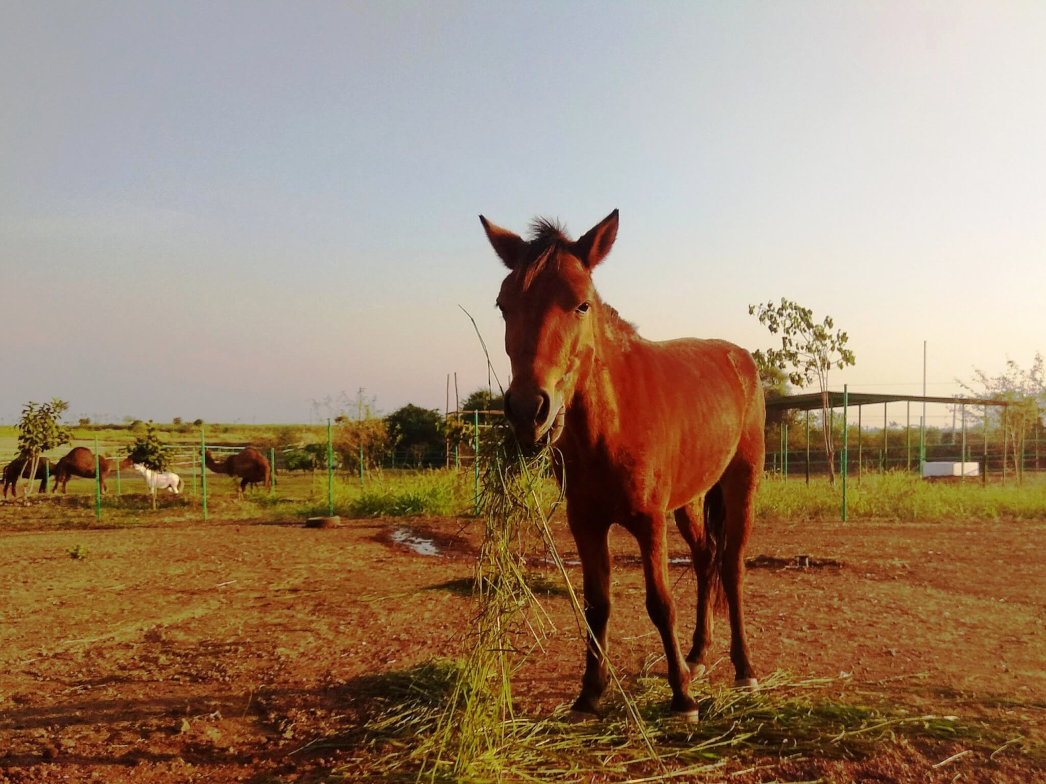 A brown pony chews some fresh green grass as she looks into the camera.