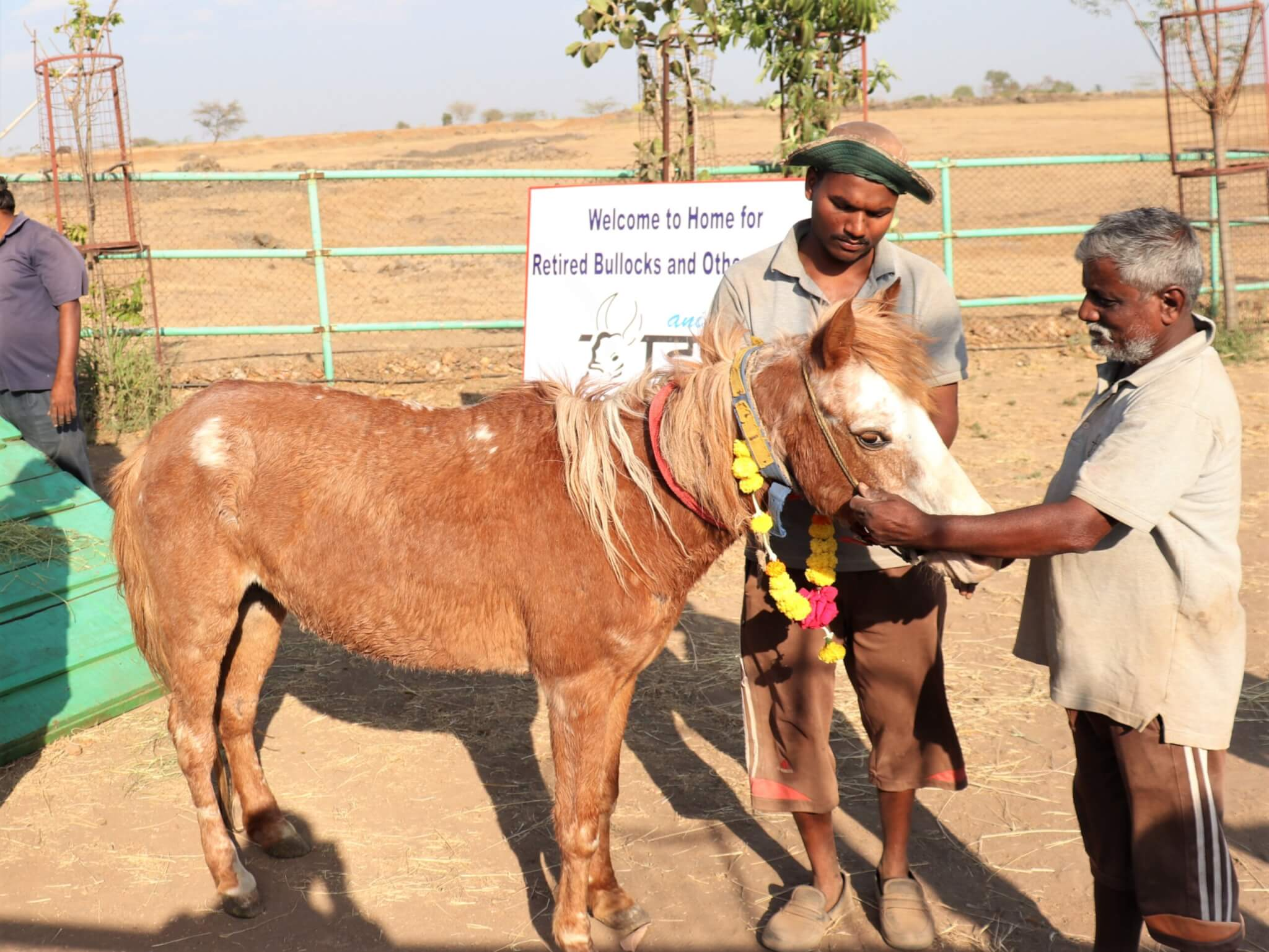 Fresh off the transport truck, rescued pony Roshani receives a flower garland and affection from one of the sanctuary's caretakers.