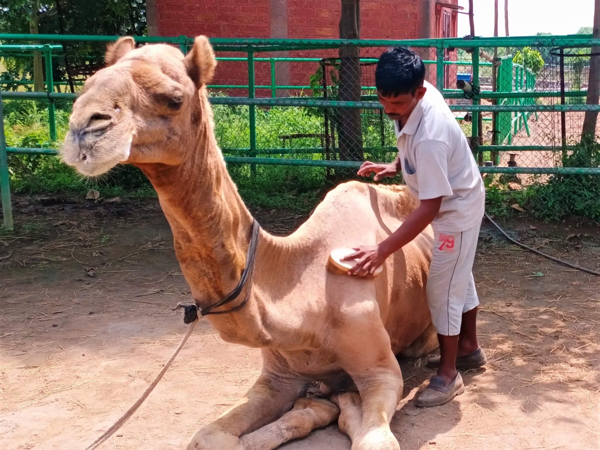 An Animal Rahat staff member grooms Samarth at the sanctuary.