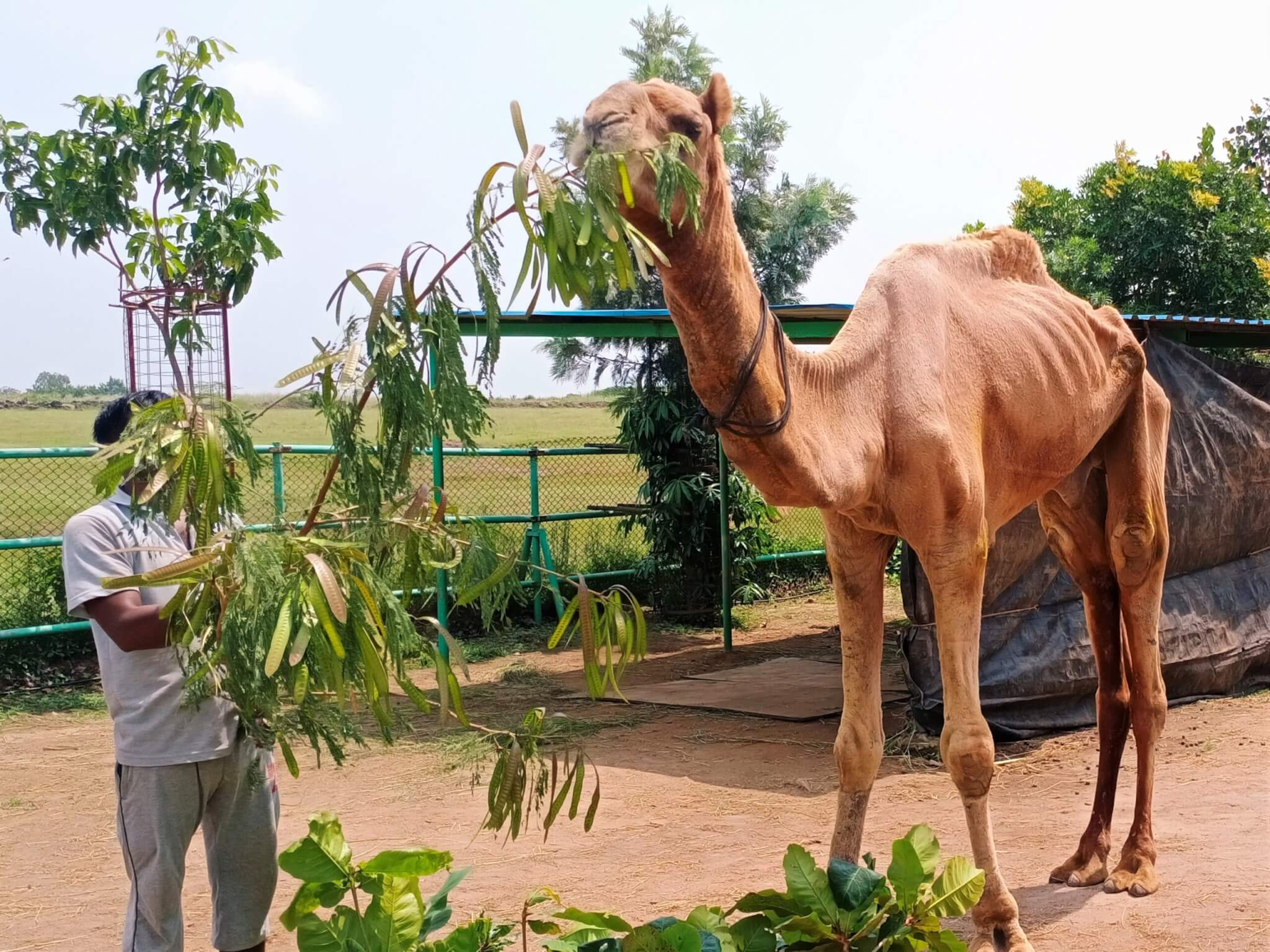 Samarth eagerly eats fresh green leaves. Meals like this will help him return to a healthy weight.