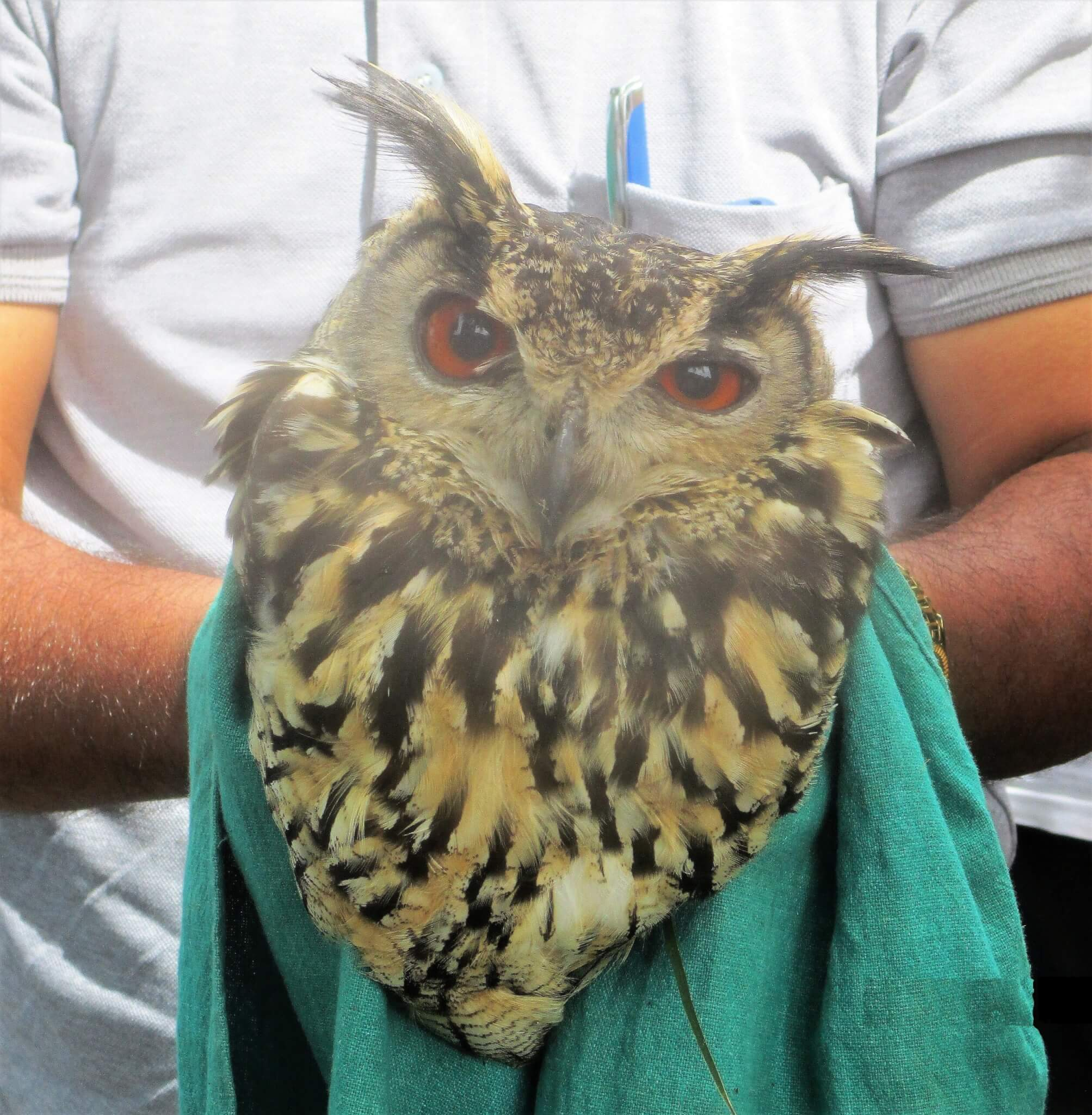 An Animal Rahat staff member holds this gentle, flightless owl as he's examined for injuries.