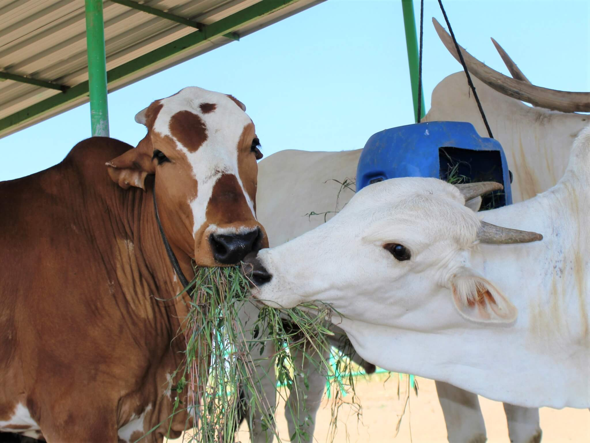 Rescued bullock Caro and cow Sheila share some fresh green grass from one of the sanctuary's puzzle feeders.