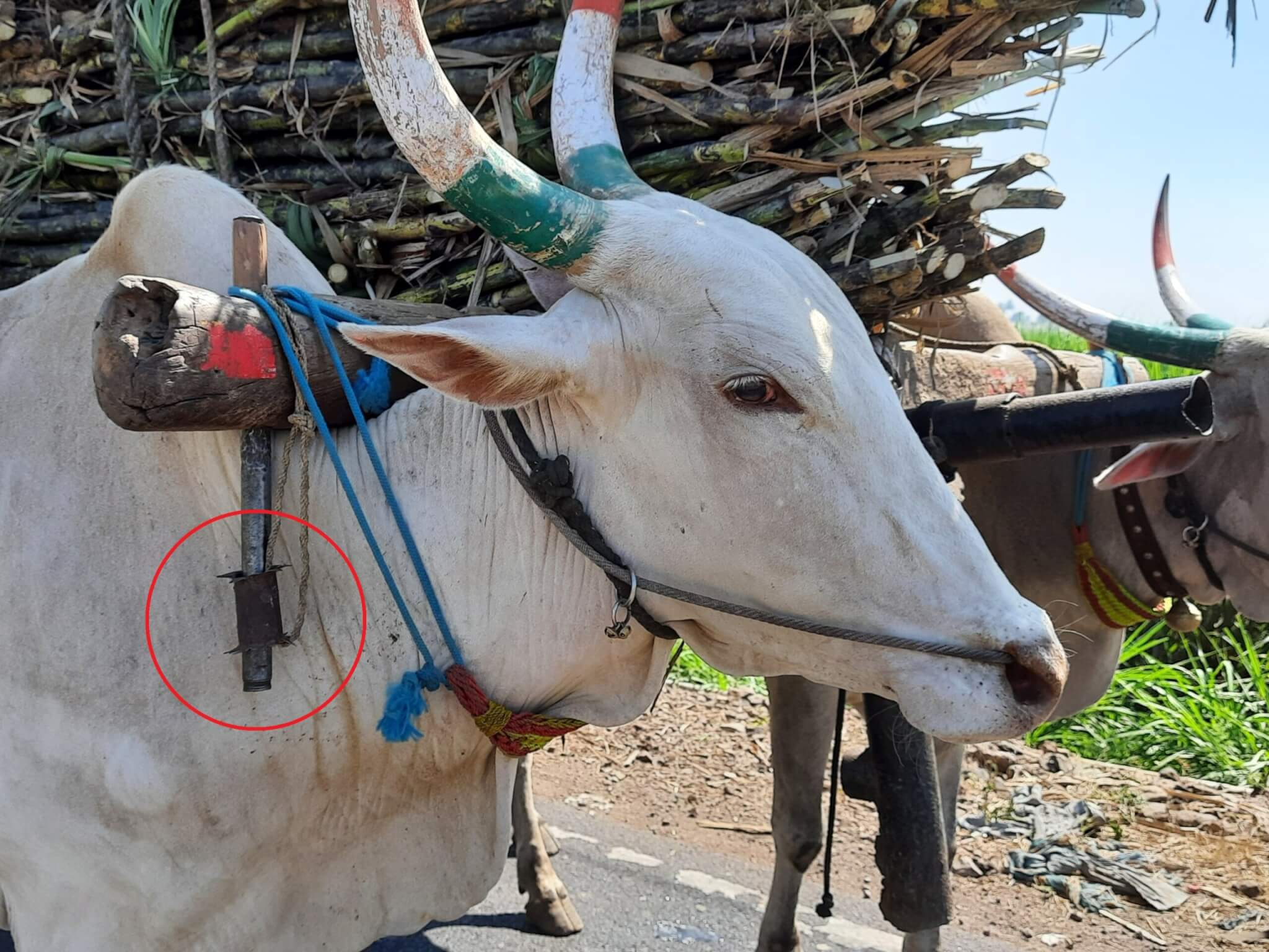 A bullock hauls a cart piled high with sugarcane while enduring the pain of a cruel nose rope and an illegal yoke spike.