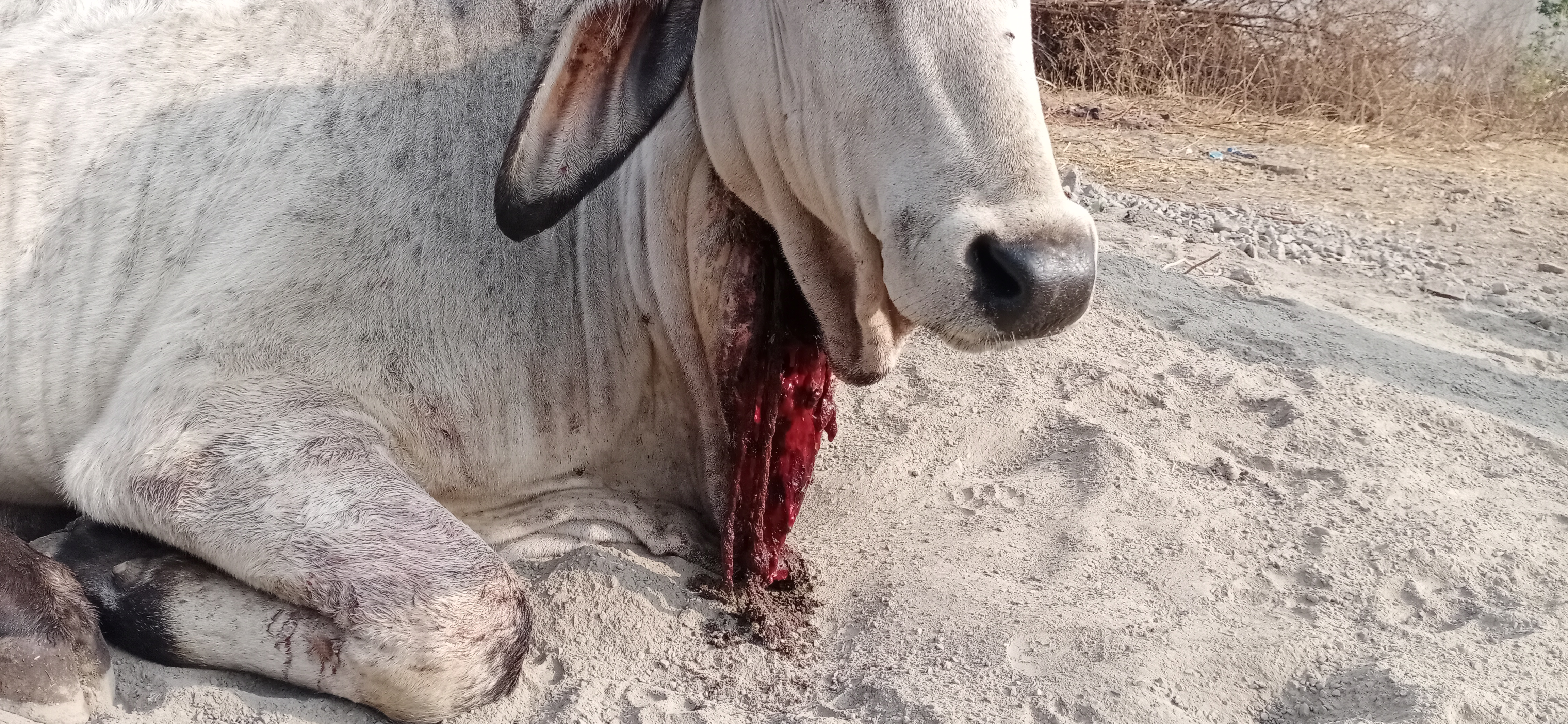 Vitthal, an abandoned young bull, suffered from a tight rope embedded in his neck.