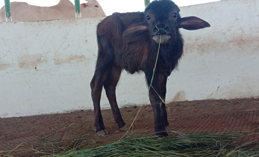 Rescued Buffalo Calf Bansi Welcomed to His New Sanctuary Home