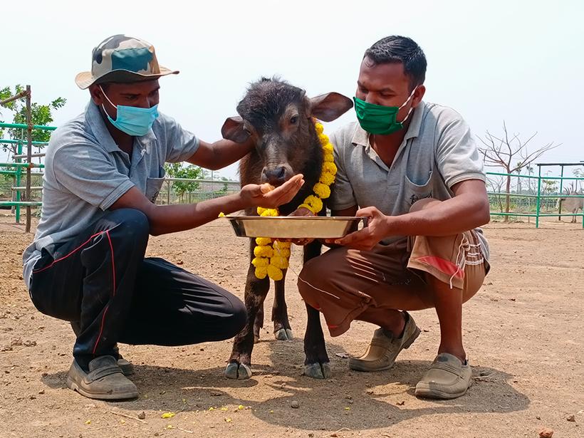 Bansi celebrates a holiday at one of Animal Rahat's sanctuaries.