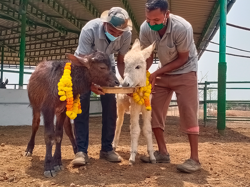 Bansi and Daya celebrates a holiday at one of Animal Rahat's sanctuaries.