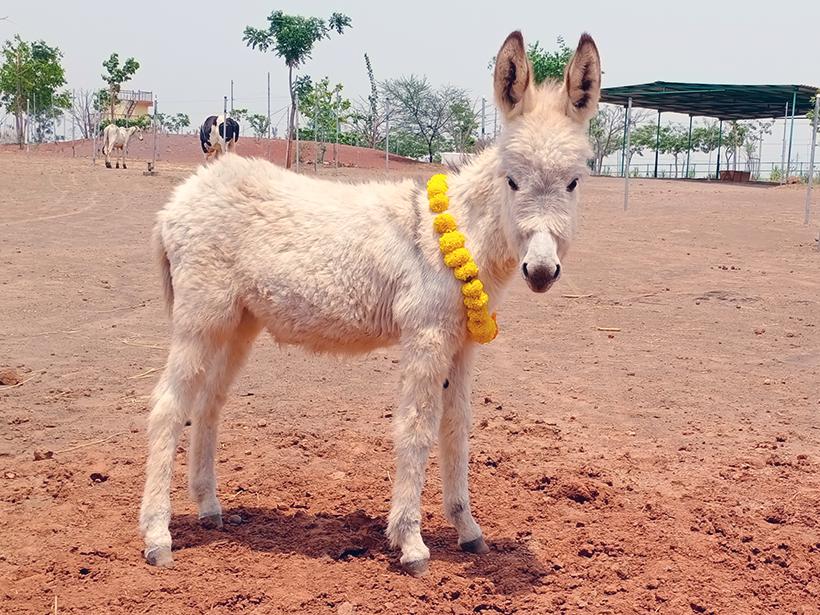 Daya celebrates a holiday at one of Animal Rahat's sanctuaries.
