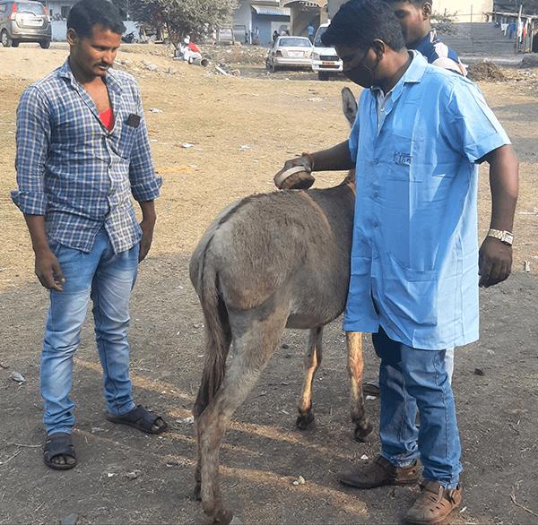 An Animal Rahat expert demonstrates the proper way to groom a donkey.