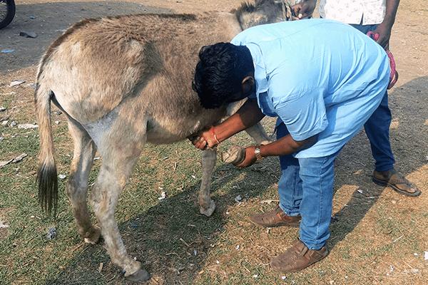 An Animal Rahat expert demonstrates proper hoof care.