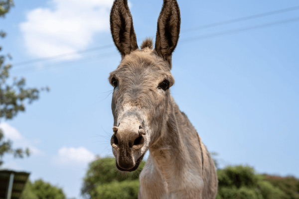 A donkey rescued by Animal Rahat.