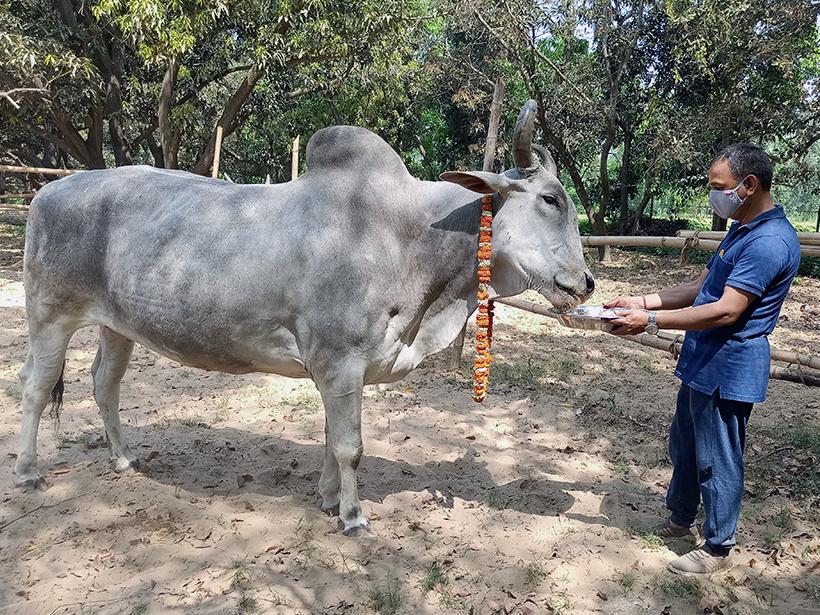 Bahubali celebrates a holiday at one of Animal Rahat's sanctuaries.