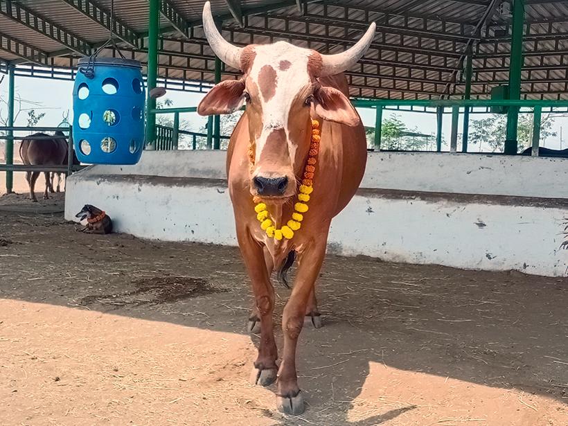Caro celebrates a holiday at one of Animal Rahat's sanctuaries.