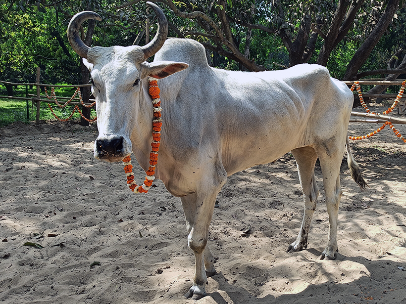 Inder celebrates a holiday at one of Animal Rahat's sanctuaries.