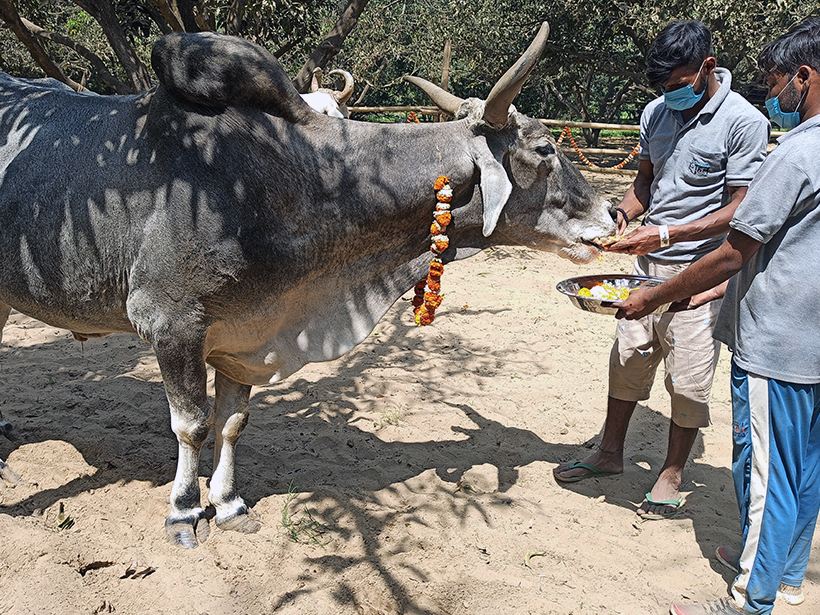 Krishna celebrates a holiday at one of Animal Rahat's sanctuaries.