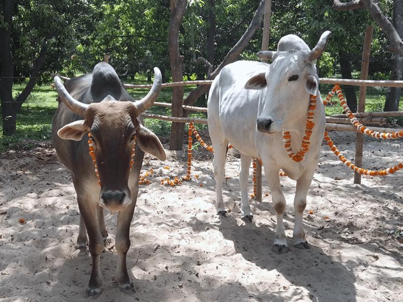 Lalu and Ganpati celebrates a holiday at one of Animal Rahat's sanctuaries.